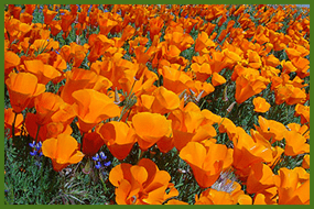 californiapoppiessmall